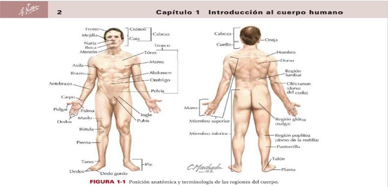 Anatomía clínica por Netter 3ra edición en pdf